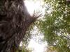 Standing pine